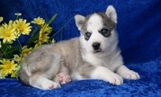 Well Trained Siberian Husky Puppies Ready.